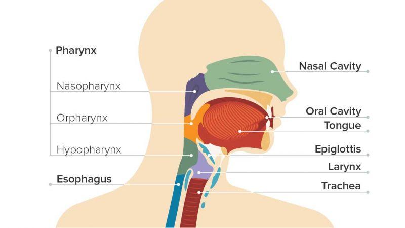 Organ Organ Pernapasan Pada Manusia Beserta Fungsinya