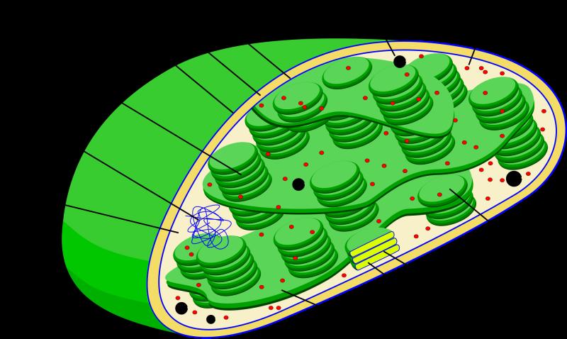 sel tumbuhan dan fungsinya: kloroplas