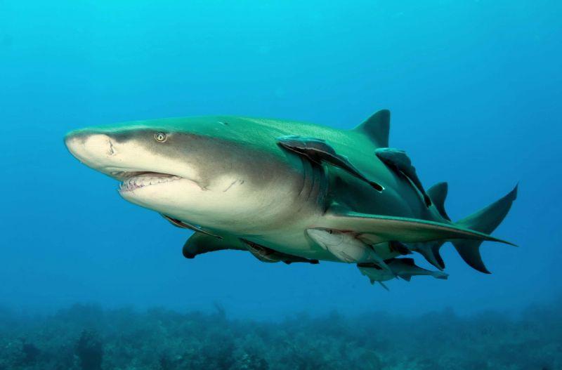 simbiosis komensalisme Ikan Remora dan Ikan Hiu