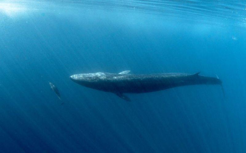ikan terbesar di dunia paus sirip pungung