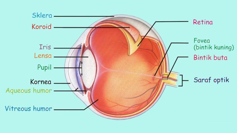 bagian dalam mata