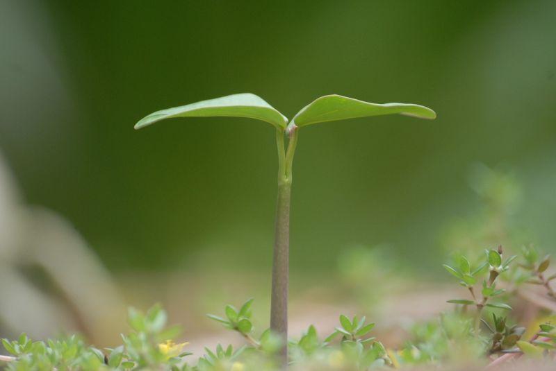 tunas tanaman